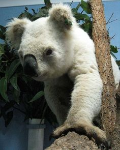 A very rare white koala, not to be confused with an albino koala. Animals Beautiful, Beautiful Creatures, Animals And Pets, Funny Animals, Wild Animals, Melanistic Animals, Rare Albino Animals, The Wombats, Mundo Animal