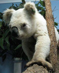 OMG, a rare white Koala - Koala Hospital Port Macquarie. June 27, 2013. 95,735 likes on Facebook.