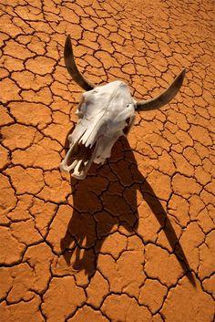 cow skull and desert - photo #6
