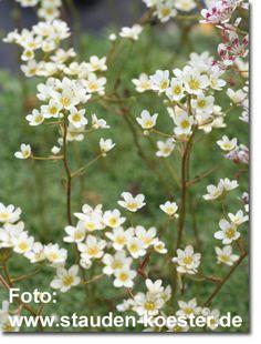 Staudenfoto zu Saxifraga paniculata (Rispen-Steinbrech, Trauben-Steinbrech)