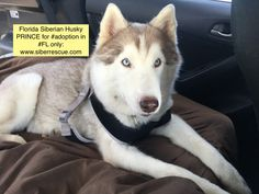 Prince is a four-year-old male Siberian Husky; he has beautiful blue eyes.   He travels well in the car, and has recently experienced his first golf cart ride for an initial view of his neighborhood. Once Prince knows you are his friend, he will approach you for some petting.   Prince is healthy, neutered, up-to-date vaccines, heartworm negative, and will be microchipped prior to adoption.  Adoption applications for any of our dogs are on our website: http://www.siberrescue.com/