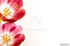 tulips isolated