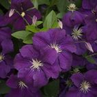 Clematis with Everything | Fine Gardening