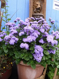 Heritage Ageratum houstonianum 'Blue Horizon', an example of a now hard to find tall variety, since dwarf varieties of annuals are now dominating the seed market. Annie's Annuals.