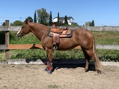 """Ruby stands at 15.1 hands and about 1200 pounds. This mare has a personality to die for. She's very sweet and loving. She'll meet you at the gate, whinny to you when you call her name, comes when called, and she always gives her best try when you ask. Rides W/E, but prefers Western. More """"whoa"""" than go. Solid w/t, needs more work at the lope. Lunges nicely, very attentive and responds quickly to subtle cues. Decently side passing but needs some fine tuning. Western Riding, Trail Riding, Western Horsemanship, Chestnut Mare, Fly Spray, American Paint Horse, Western Pleasure, Horses For Sale, Take A Nap"""