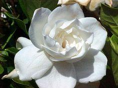 I love gardenias!