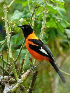 corrupião_Icterus jamacaii Brazilian Birds