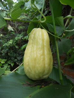 Chayote (Sedium edule) is a pear-shaped tropical fruit that resembles cucumber in flavour.
