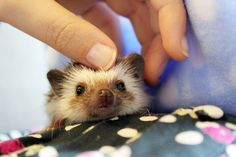 Hedgehog petting
