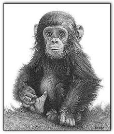 Chimp art #print monkey portrait picture baby animal #sketch a3 #wildlife drawing,  View more on the LINK: http://www.zeppy.io/product/gb/2/381583919502/