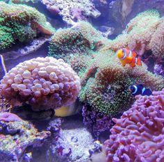 #findetnemo #clownfish #clownfisch #coral #korallen #sealife #underwaterphotography #deepsea #ocean #meer #karlsruhe #karlsruhetweets #igerskarlsruhe #huaweip8lite #speyer #ausflug #bunt #farben #aquarium #colour #color #foundnemo #reef