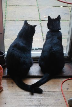 Black Cats. Look, there tails are touching, and they are acting calm ... There in a gang!