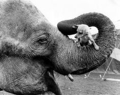 Elephants love dogs, cats and about every other species on this planet. They are quite similar to humans, eg., feelings, social monogamy, grief, and true friends. I could go on and on...as they are such special creatures that God created.