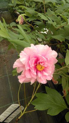 Trädpion - Rosa Plants, Plant, Planting, Planets