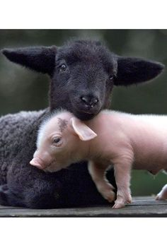 mixed, dog and pig