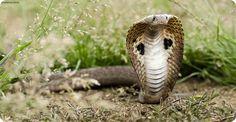 Индийская кобра или очковая змея (лат. Naja naja)