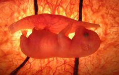 dog embryo