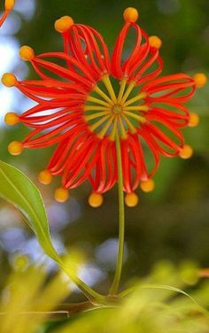 Nature, the grand designer.  The beautiful Stenocarpus Sinuatus also known as the Firewheel Tree is an Australian rainforest tree in the Protea family , from Iryna
