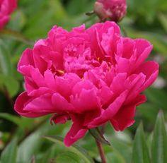 Paeonia lactiflora 'Königin Wilhelmina' / Silkepæon 'Königin Wilhelmina'    s5095 thump Nyheder Stauder 2009    Lysforhold: Sol  Farve: dyb rosa/halvfyldt  Højde: 80 cm  Blomstring: juni-juli  Antal pr m2: 3