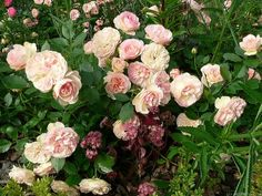 floribunda pastella rose - Google meklēšana