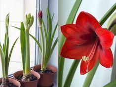 Három fontos tipp az amarillisz sikeres virágzásához!   Hobbikert Magazin Amarillis, Winter Garden, Plant Care, Permaculture, Green, Jeans, Paintings, Plant, Tips
