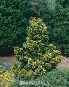 32 Best Landscape Images Shrubs Garden Hinoki Cypress