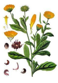 Calendula officinalis - Pot Marigold - vulnerary, astringent, antiseptic, antibacterial.