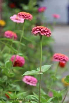 Zinnias, zinnias, zinnias.  From JennyBeansBlog.com, when a single woman goes to the bank to become a mommy.