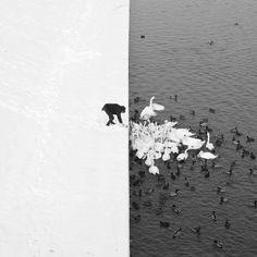 Schwanfütterung in Krakau