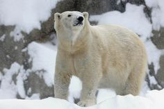 Jan. 5, 2014 photo provided by the Chicago Zoological Society, Anana, a polar bear at Brookfield Zoo in Brookfield, Ill., seems to be enjoy ...