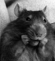 Rat & Mouse Gazette: Rat Toys!