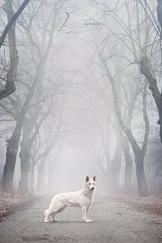 """White #German #Shepherd  From your friends at phoenix dog in home dog training""""k9katelynn"""" see more about Scottsdale dog training at k9katelynn.com! Pinterest with over 18,000 followers! Google plus with over 119,000 views! You tube with over 350 videos and 50,000 views!!2,000 plus on Twitter!!"""