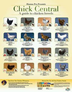 I cannot wait to raise chickens again. My favorite are the Easter Eggers.