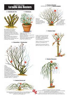 La Taille des Rosiers Hybrides de Thé, Miniatures, Arbustes, Anglais, Polynathas, Floribundas, Tiges et Pleureurs