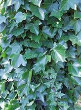 lierre Nutrition, Health Fitness, Plants, Gardening, Garden, Healing Herbs, Medicinal Plants, Organic Fertilizer, Natural Antibiotics