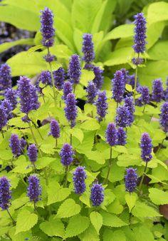 "Agastache foeniculum 'Golden Jubilee'   Perennial, zones 6-10. Filtered sun or part shade. Average water. 20"" tall, 15"" wide. Blooms summer. 4"" flower spikes. Attracts hummingbirds, butterflies and bees. Reseeds."