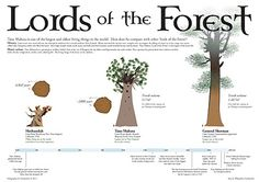 Google Image Result for http://2.bp.blogspot.com/-LXyskcsld1Y/Tv-EFATnN7I/AAAAAAAAB4Y/pomMo9kGS9I/s400/Lords_of_the_Forest_TreeInfographic_TaneMahuta_large.jpg