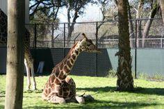 Rafiki takes a break in the shade.