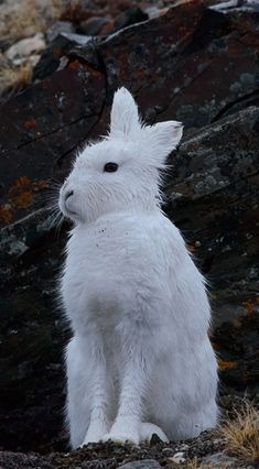 Arctic hares are white, and sometimes brown depending on the location and season. They are cm long, excluding their tail and weigh between and kg. Arctic Hare, Wild Life, Winter Snow, Goats, Seasons, Brown, Cute, Animals, Animaux