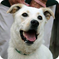 Walnut Creek, CA - Labrador Retriever/Golden Retriever Mix. Meet Max a Dog for Adoption.