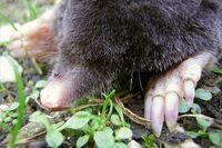100 Percent Foolproof Way to Get Rid of Moles