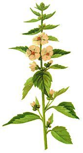 """The generic name, Althaea, is derived from the Greek ""ἄλθειν"" (to cure), from its healing properties."" Echter Eibisch – Wikipedia"