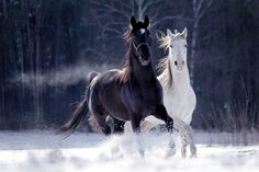 ♂ Black and White horses running - Irmas hästbilder - Horse Most Beautiful Horses, All The Pretty Horses, Animals Beautiful, Animals And Pets, Funny Animals, Cute Animals, Black Horses, Wild Horses, Horses In Snow