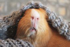 The Guinea Pig Daily: Cinnamon