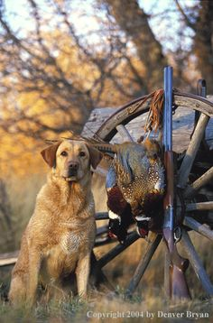 Yellow Labrador Retriever with pheasants