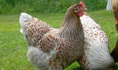 Raising BackYard Chickens, Build a Chicken Coop, Pictures of Breeds | Backyard Chickens