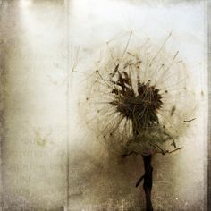 Sunday Night Wishes by joyelbe, via Flickr/ ( Blow....and make a wish!/ A combination of textures:Skeletal Mess and les brumes)