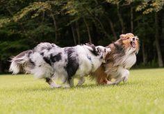 おはようございます☀、 やったー😆❤️❤️ 晴れたー♡♡ 今日は緑の世界へー♡♡ #Shetlandsheepdog #sheltie #dog #シェットランドシープドッグ #シェルティ #犬 #愛犬 #instadog #instadogs #インスタドッグ #east_dog_japan #ふわもこ部 #いぬら部 #いぬのいる暮らし #犬バカ部 #IGersJP #Sheltiegram #パピー #ブルーマール #多頭飼い #セーブル #ニコン #Nikon #D500 #InstagramJapan #IGersJP #写真好きな人と繋がりたい #東京カメラ部 #tokyocameraclub