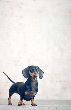 """""""Everyone who has ever had a dachshund has this thing about dachshunds that they can't let go of."""" True for me."""