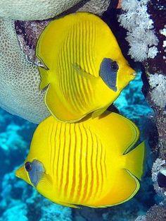 fond marin, poissons tropicaux jaunes